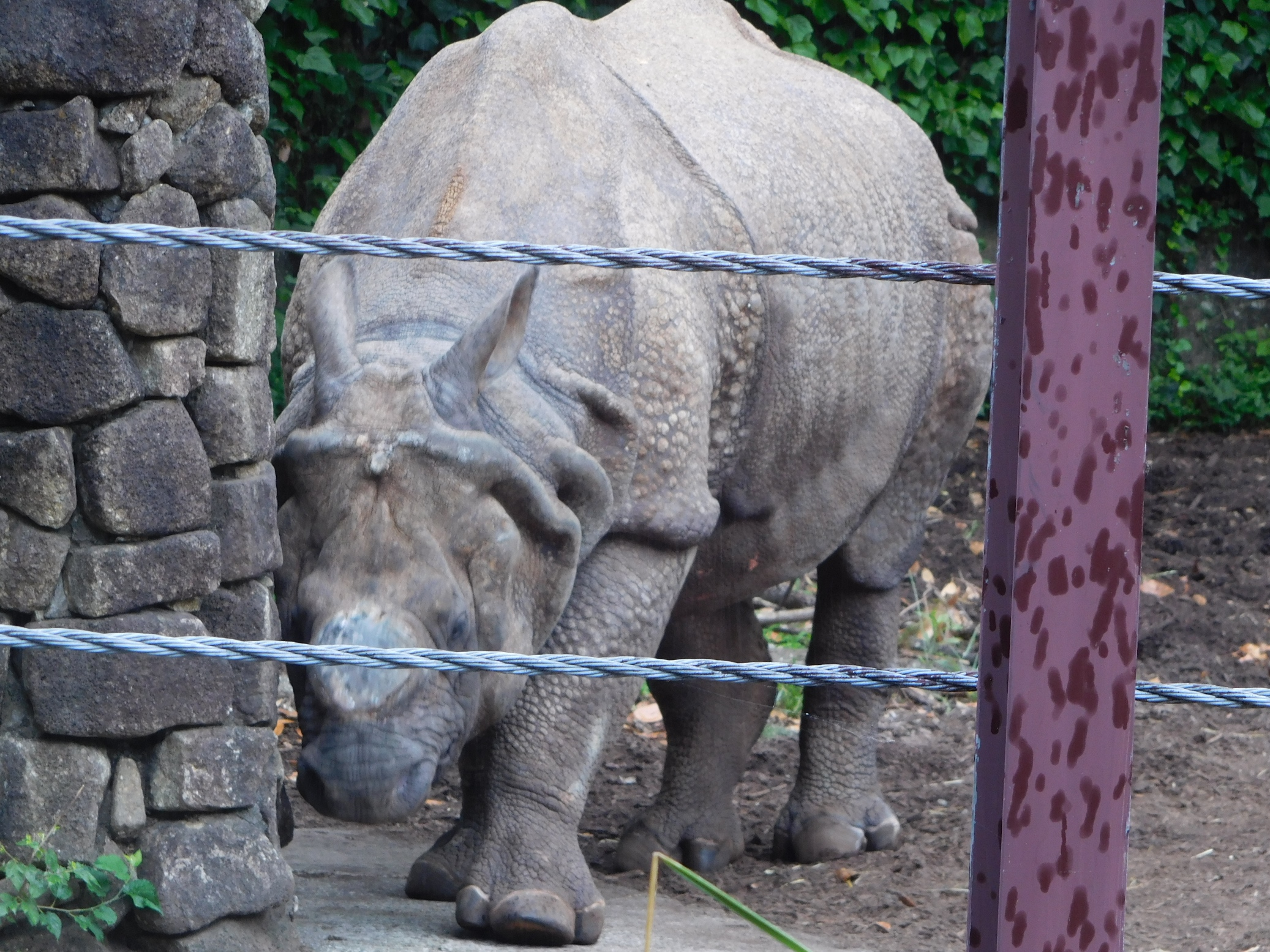 Life-sized Panel Picture of Indian Rhino in a Japanese Zoo - Rhinos